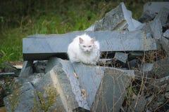 一只白色蓬松街道猫 免版税库存照片
