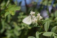 一只白色蝴蝶在花垂悬 库存照片