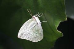 一只白色蝴蝶,登陆在一片绿色叶子 免版税库存照片