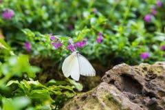一只白色蝴蝶 库存照片