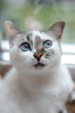 一只白色逗人喜爱的蓬松蓝眼睛的猫的大画象 查找正确 窗口在背景中 免版税图库摄影