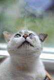 一只白色逗人喜爱的蓬松蓝眼睛的猫的滑稽的大画象 窗口在背景中 库存图片