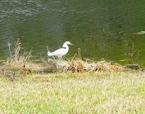 一只白色鸟寻找食物 图库摄影