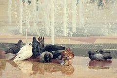 一只白色鸠和一些正常游泳在城市喷泉 免版税库存照片