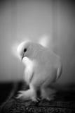 一只白色鸠的画象 免版税库存照片