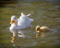 一只白色鸭子用她的鸭子 免版税库存照片