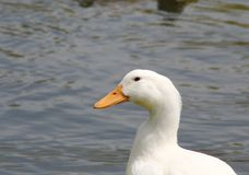 一只白色鸭子 库存照片