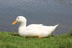 一只白色鸭子 免版税库存图片
