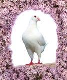 一只白色鸽子美丽的景色  免版税库存照片