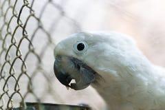 一只白色鹦鹉的画象在笼子的 免版税库存照片