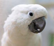 一只白色鹦鹉的画象 免版税库存图片