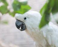 一只白色鹦鹉的画象 库存照片