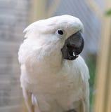 一只白色鹦鹉的画象 免版税库存照片