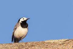 一只白色令科之鸟鸟坐屋顶的唯一黑色 免版税库存照片