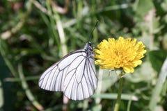 一只白色蝴蝶在一个黄色蒲公英摇摆 免版税库存照片