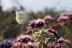 一只白色蝴蝶坐在草甸的一朵花 图库摄影