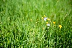 一只白色蝴蝶坐水多的绿色围拢的花g 免版税库存图片