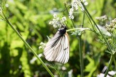 一只白色蝴蝶摇摆 库存照片