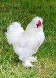一只白色silkie母鸡 库存照片