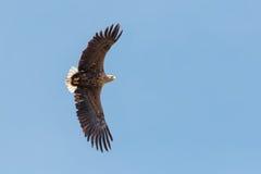 一只白被盯梢的老鹰在飞行中反对清楚,蓝天 免版税图库摄影