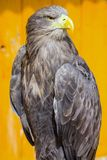 一只白被盯梢的老鹰的画象, Haliaeetus albicilla, 库存图片