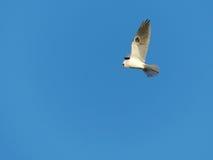 一只白被盯梢的风筝鸟在飞行中在蓝色背景 库存照片