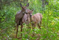 一只白被盯梢的鹿小鹿和母鹿在森林里 库存图片