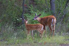 一只白被盯梢的鹿小鹿和母鹿在森林里 免版税库存照片