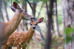 一只白被盯梢的鹿小鹿和母鹿在森林里 免版税图库摄影