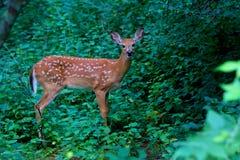 一只白被盯梢的鹿小鹿在森林里 免版税图库摄影