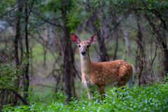 一只白被盯梢的鹿小鹿在森林里 库存照片