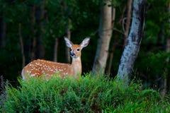 一只白被盯梢的鹿小鹿在森林里 免版税库存照片