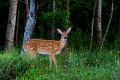 一只白被盯梢的鹿小鹿在森林里 免版税库存图片
