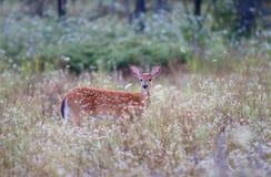 一只白被盯梢的鹿小鹿在野花中 库存照片
