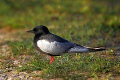 一只白飞过的黑燕鸥鸟的特写镜头在春天嵌套期间 免版税库存照片