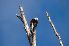 一只白头鹰在一棵死的树顶部 免版税库存照片