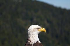 一只白头鹰的面部照片被采取在松鸡山,加拿大 库存照片