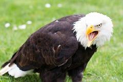 一只白头鹰的画象在草的 免版税库存图片