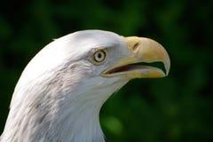 一只白头鹰2的画象 库存照片
