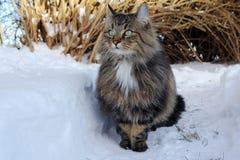 一只相当挪威森林猫的广角照片在雪的 库存照片