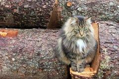 一只相当挪威森林猫 库存照片