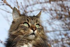 一只相当棕色黑挪威森林猫的面孔 库存图片