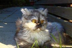 一只相当波斯猫 库存图片