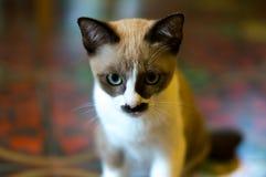 一只看的焦点猫的画象 图库摄影