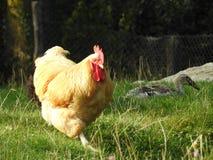 一只真正的公鸡 库存图片