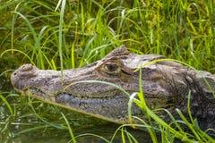 一只眼睛凯门鳄的头-凯门鳄crocodilus 库存图片