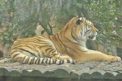一只睡觉老虎的外形在森林的 免版税库存照片