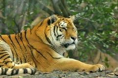 一只睡觉老虎的外形在森林的 免版税库存图片
