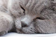 一只睡觉英国shorthair猫的面孔与灰色毛皮的 猫在椅子说谎并且放松,与forpaw在它的面孔 免版税库存图片