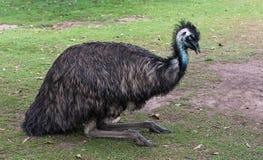 一只瞎的驼鸟 免版税库存图片